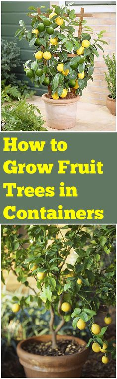 Learn how to grow fruit trees in containers! Easy tips and tricks to guarantee you success with your potted fruit trees. Learn how easy it is to grow fruit trees in a container. Growing Fruit Trees, Growing Plants, Growing Vegetables, Fruit Garden, Edible Garden, Organic Gardening, Gardening Tips, Vegetable Gardening, Fine Gardening