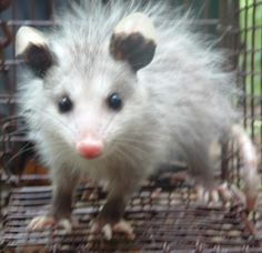 Cute Baby Opossum | Posted in Animals | Tagged opossum , top ten | Leave a comment
