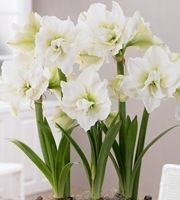 Amaryllis Alfresco 1 kpl