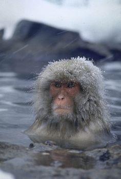 Macaco japonês nas montanhas Shiga, Japão ¬– 1969. (Co Rentmeester/Time & Life Pictures/Getty Images)