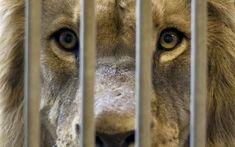 Big Cat Species, Mon Combat, Post Animal, Stop Animal Cruelty, Vegan Animals, Majestic Animals, Large Animals, Wild Animals, Wildlife Conservation