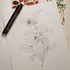 Camellia sinensis tea line drawing