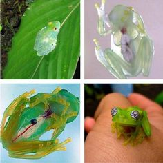 Glass frogs, a group of South and Central American frogs with translucent skin. Their internal viscera, including the heart, liver, and gastrointestinal tract are all completely visible.