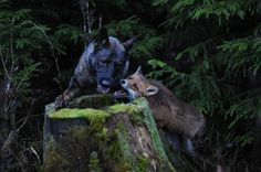 Berge explains that while Tinni and Sniffer might seem like an unlikely duo, they are actually very much the same. | Real-Life Fox And The Hound Best Friends Will Melt Your Heart