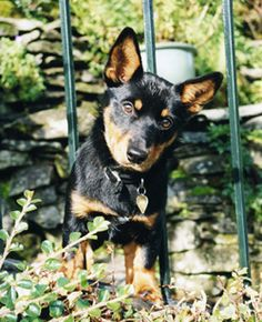 lancashire heeler dog photo | Heelers Dog Kennels :: Lancashire Heeler Dogs :: Pedigree Show Dog ...