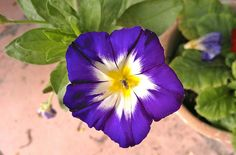 15 Feb  A present from afar - after our quakes a friend sent us some seeds and this beautiful flower grew.