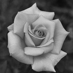Rose Drawing Tattoo, Realistic Rose Tattoo, Rose Hand Tattoo, Rose Flower Tattoos, Tattoo Design Drawings, Floral Tattoo Design, Flower Tattoo Designs, Hand Tattoos Pictures, Colorful Rose Tattoos