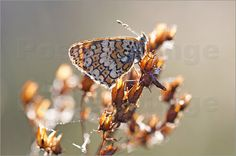 "Poster ""Wegerich-Scheckenfalter - Melitaea cinxia"" von Andrea Potratz - #macro #makrofotografie #animals #tiere #butterfly"