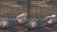 Owl poops on other owl, then sprints away like the garbage friend he is