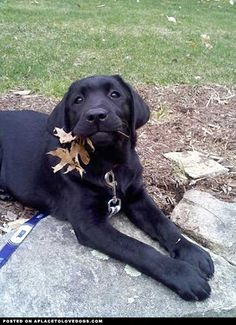 black labs, so pretty.