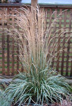 "Feather Reed Grass ""Avalanche"" - foliage is variegated greens margins with white centre. Up to 4' tall. Full sun. Looks great backlit by the sun."