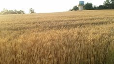밀이 자라는 한국의 밭 정서적 풍요로움이 있는 우리의 땅