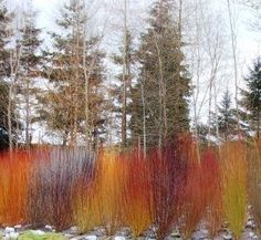 colorful willows in winter