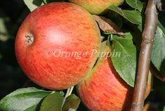 Charles Ross apple tree