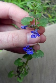 Ground Ivy (Glecoma hederacea) aka Gil-over-the-Ground and Creeping Charlie - strong member of the mint family that has been used for tea and for brewing beer, has medicinal uses as well - First Ways