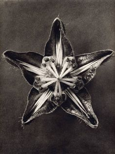 Botanical still life by Karl Blossfeldt Photography Karl Blossfeldt, Still Life Photography, Macro Photography, Photography Themes, Flower Photography, Photography Website, Patterns In Nature, Natural Forms, Sacred Geometry