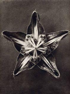 Karl Blossfeldt, photographer. 1932.
