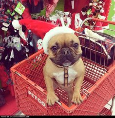 French Bulldog Christmas Shopping