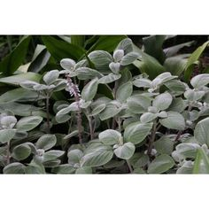 """Plectranthus argentatum"" - Google Search Blue Plants, Centennial Park, Foliage Plants, Wild And Free, Jewel Tones, Country Chic, Garden Plants, Garden Design, Whimsical"