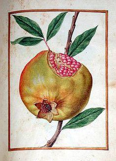Le Moyne -Pomegranate