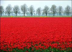 Field of red tulips. so pretty.