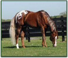 The Hunter appaloosa horse stallion