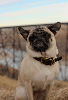 Pugs :)