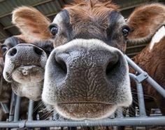New Cologne to Appeal to Cows! @Anne-Sophie Laberge -- pour tes séances de jogging en campagne! Là tu vas pogner!