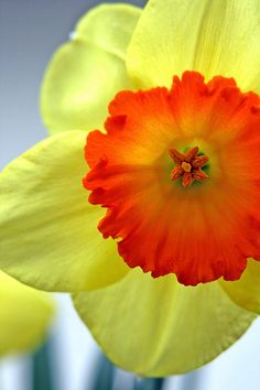 I have never seen a bright orange center on a daffodil before but it is so striking