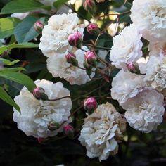 Rosier Grimpant 'Félicité et Perpétue ' rosa - rosiers - Place des Jardins