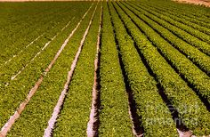 Lettuce Farming: See more images at http://robert-bales.artistwebsites.com/