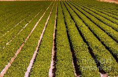 Lettuce Farming: See more images at http://robert-bales.artistwebsites.com/
