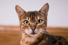 Bengal, Therapy, Club, Pets, Animals, Flare, Animales, Animaux, Animal