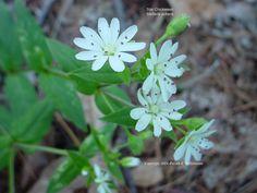 Stellaria pubera - Star Chickweed .