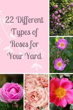 22 Different Types of Roses for Your Yard Love Roses? Check our gallery of the 22 different types of Types Of Rose Bushes, Types Of Roses, Different Types Of Fences, Dark Rose, Cheap Landscaping Ideas, Pool Landscaping, Black Pink, Garden Drawing, Simple Rose