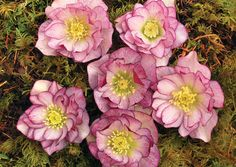 Helleborus Winter Jewels™ Peppermint Ice