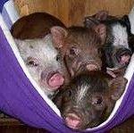 Cosy Pigs