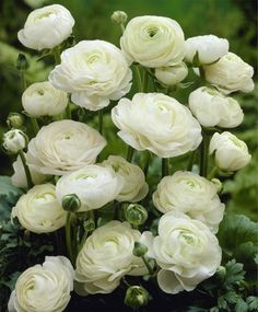 WHITE RANUNCULUS (Persian Buttercup): 1) Blooms in early summer and goes for weeks 2) Grows in a mound 6 to 12 inches across. Flowers on 12- to 18-inch stems 3) Partial shade 4) Deer Resistant 5) Plant in fall