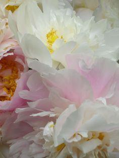 My Peonies fully in Bloom, Karl Seitinger, 2014