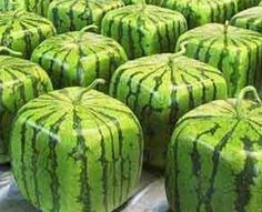 . Description The watermelon, a member of the Cucurbitaceae family which comprises fruits like cantaloupe, pumpkin and similar plants that grow on…