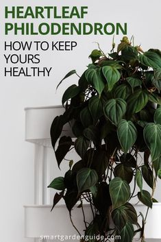Heartleaf Philodendron care guide, covering all aspects of growing and caring for Philodendron scandens, including common problems and solutions. Philodendron Scandens, Snake Plant Care, Indoor Water Garden, Indoor Gardening, Smart Garden, House Plant Care, Garden Guide, Orchid Care, Outdoor Plants