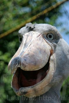 Shoe-billed Stork (Balaeniceps rex) also known as Whalehead or shoebill stork...looking very much like a prehistoric creature