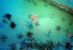 Hundreds of lionfish