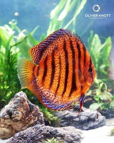 Discus Aquarium, Tropical Fish Aquarium, Freshwater Aquarium Fish, Aquarium Design, Love Images, Fresh Water, Therapy, Ocean, Living Room