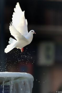 Symbols: A dove is a symbol of the Holy Spirit. An example of the Holy Spirit showing itself as a dove is in the story of Noah where when they found land a dove flew over right before showing signs of chaos ending.