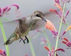 Feeding Hummingbirds, Birding Basics.  From the Cornell Lab of Ornithology.