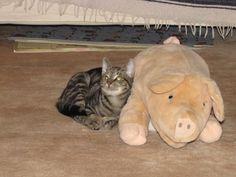 Kater Moritz und sein Schwein