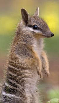 The Numbat (Myrmecobius fasciatus), also known as the banded anteater, or walpurti, is a marsupial found in Western Australia's eucalypt forests and other dry, open woodlands where fallen, dead trees are present. Its diet consists almost exclusively of termites.