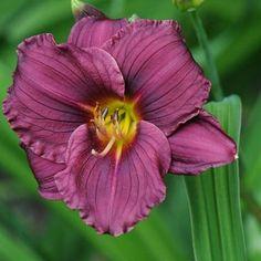 Liliowiec 'Little Grapette' 400 Hemerocallis |Albamar