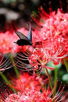 Lycoris radiata & Papilio protenor 曼珠沙華とクロアゲハ